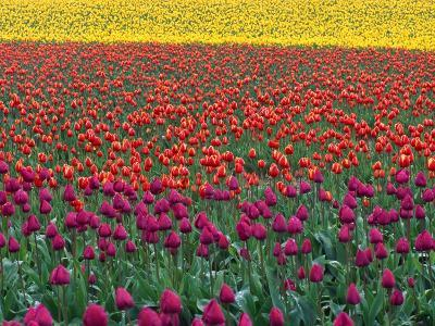 Colorful Tulip Field-Cindy Kassab-Photographic Print