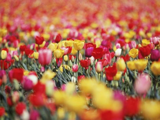 Colorful Tulips in Meadow-Craig Tuttle-Photographic Print