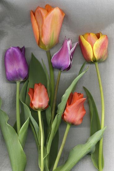 Colorful Tulips on White Background-Anna Miller-Photographic Print