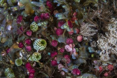 Colorful Tunicates Grow Among Coral Polyps-Stocktrek Images-Photographic Print
