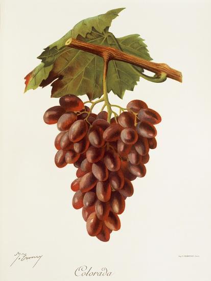 Colourada Grape-J. Troncy-Giclee Print
