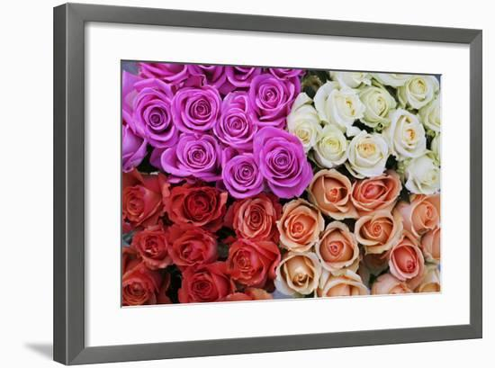 Coloured Rose Blossoms, Roses-Sweet Ink-Framed Premium Photographic Print