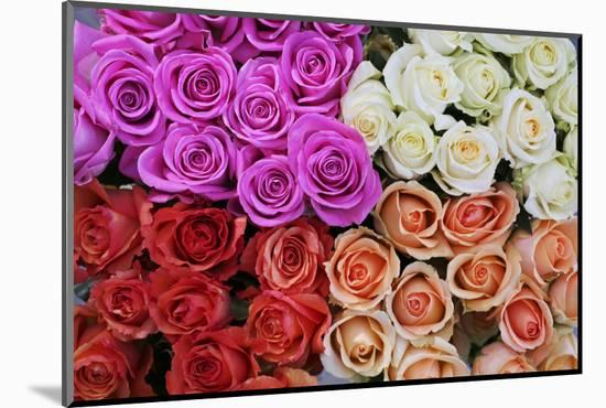 Coloured Rose Blossoms, Roses-Sweet Ink-Mounted Photographic Print