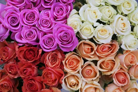 Coloured Rose Blossoms, Roses-Sweet Ink-Photographic Print