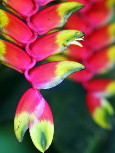 Colourful Shitulli Flower-Paul Kennedy-Photographic Print