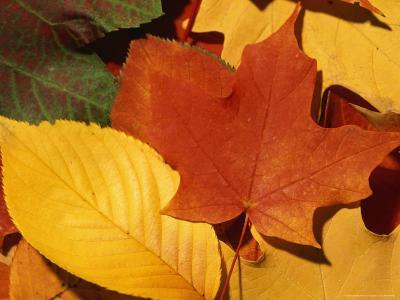 Colourfull Fall Leaves Lie in a Pile-Taylor S^ Kennedy-Photographic Print