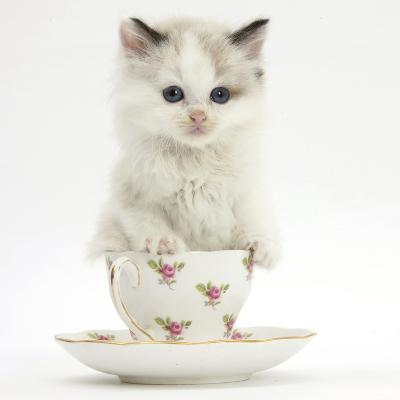 Colourpoint Kitten in a Tea Cup-Mark Taylor-Photographic Print
