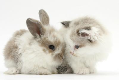 Colourpoint Kitten with Baby Rabbit-Mark Taylor-Photographic Print