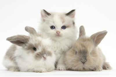 Colourpoint Kitten with Two Baby Rabbits-Mark Taylor-Photographic Print