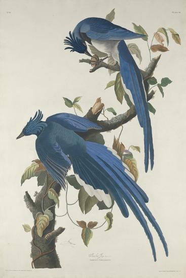 Columbia Jay, 1830-John James Audubon-Giclee Print