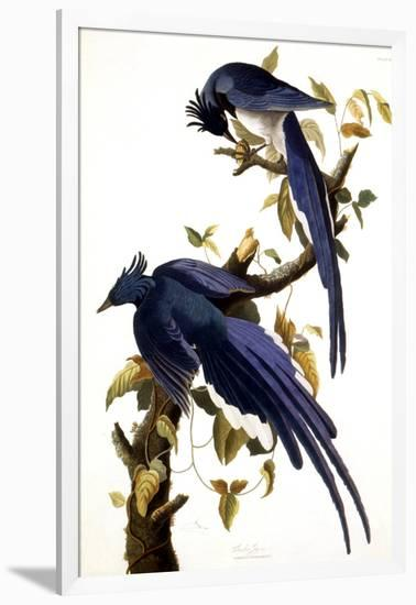Columbia Jay, 1830,-John James Audubon-Framed Giclee Print