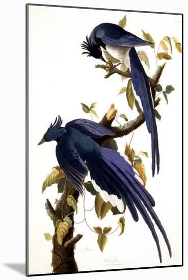 Columbia Jay, 1830,-John James Audubon-Mounted Premium Giclee Print
