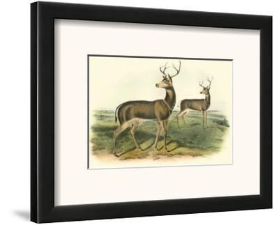 Columbian Black-Tailed Deer-John James Audubon-Framed Art Print