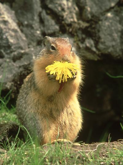 Columbian Ground Squirrel Eating Dandelion Jasper National Park, Canada-Adam Jones-Photographic Print
