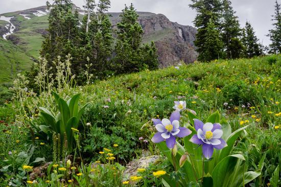 Columbine and Wildflowers in Colorado Mountain Basin-kvd design-Photographic Print
