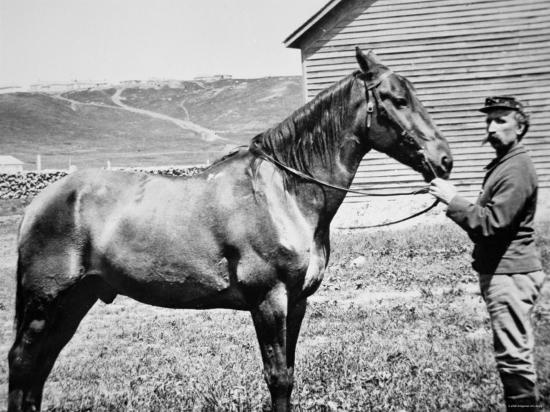 Comanche, Captain Keogh's Mount, the Only Survivor of Custer's Last Stand, 25th June 1876--Photographic Print