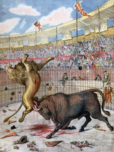 Combat Between a Lion and a Bull, Spain, 1894--Giclee Print