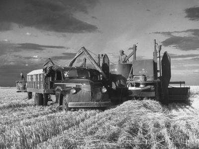 Combines and Crews Harvesting Wheat, Loading into Trucks to Transport to Storage-Joe Scherschel-Photographic Print