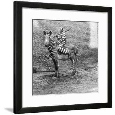 Comic Criminal Riding a Zebra--Framed Photographic Print