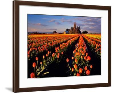 Commercial Tulip Field in the Skagit Valley, Washington, USA-Chuck Haney-Framed Photographic Print