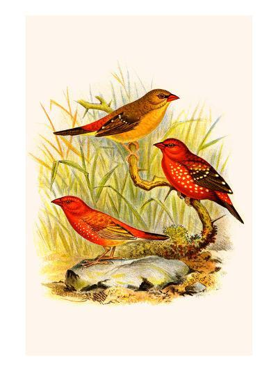 Common Amaduvade and African Fire Finch-F^w^ Frohawk-Art Print