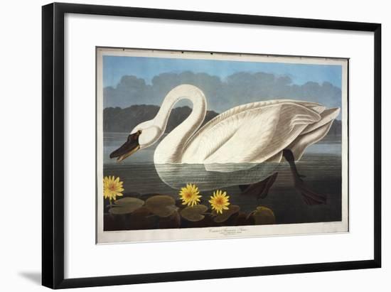 Common American Swan. Whistling Swan-John James Audubon-Framed Giclee Print