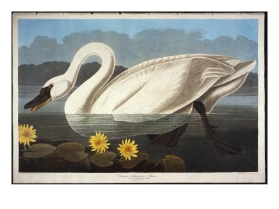 https://imgc.artprintimages.com/img/print/common-american-swan-whistling-swan_u-l-pcf9ka0.jpg?artPerspective=n