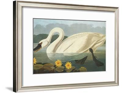 Common American Swan-John James Audubon-Framed Premium Giclee Print