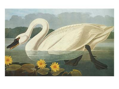 Common American Swan-John James Audubon-Art Print