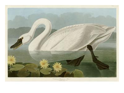 Common American Swan-John James Audubon-Giclee Print