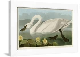 Common American Swan-John James Audubon-Framed Giclee Print