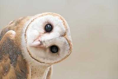 https://imgc.artprintimages.com/img/print/common-barn-owl-tyto-albahead-head-close-up_u-l-q1a21un0.jpg?p=0