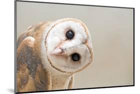 Common Barn Owl ( Tyto Albahead ) Head close Up-Anan Kaewkhammul-Mounted Photographic Print