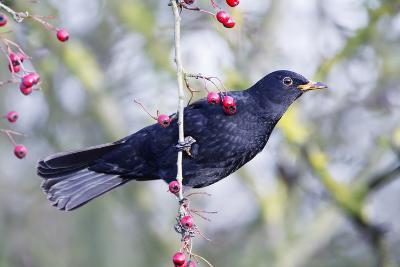Common Blackbird Hanging from Hawthorn Bush--Photographic Print