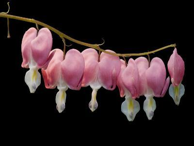 Common Bleeding Heart Flowers, Dicentra Spectabilis-Joel Sartore-Photographic Print
