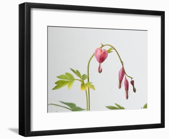 Common Bleeding Heart Flowers, Dicentra Spectabilis-Joel Sartore-Framed Photographic Print