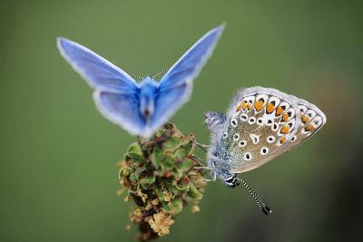 Common Blue Butterfly Male and Female--Photographic Print