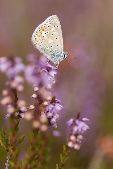 Common Blue Butterfly (Polyommatus Icarus), Resting on Flowering Heather, Dorset, England, UK-Ross Hoddinott-Photographic Print