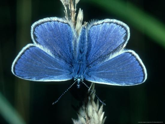 Common Blue, Male, Essex-Alastair Shay-Photographic Print