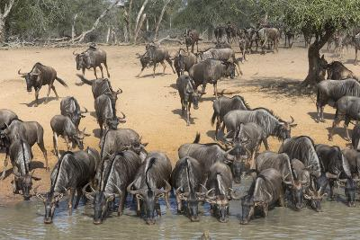 Common (Blue) Wildebeest (Gnu) (Connochaetes Taurinus), Mkhuze Game Reserve, Kwazulu-Natal, Africa-Ann & Steve Toon-Photographic Print