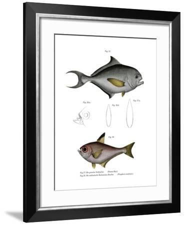 Common Bream--Framed Giclee Print