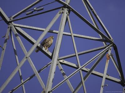 Common Buzzard, Adult on Electricity Pylon, Scotland-Mark Hamblin-Photographic Print