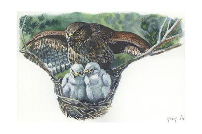 Common Buzzard Buteo Buteo at Nest with Young--Giclee Print