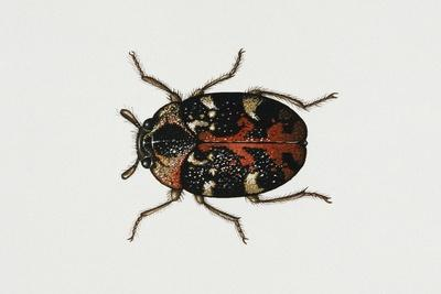 Common Carpet Beetle (Anthrenus Scrophulariae), Dermestidae, Artwork by Rebecca Hardy--Giclee Print