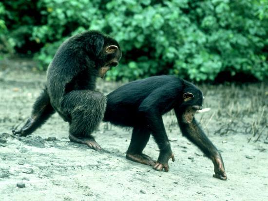 Common Chimpanzee, Mating, Africa-Clive Bromhall-Photographic Print