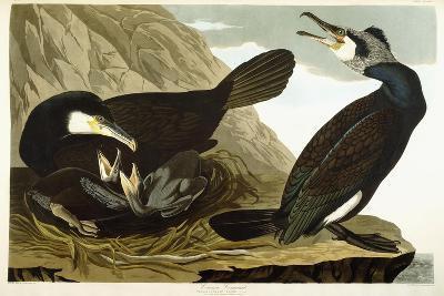 Common Cormorant, 1835-John James Audubon-Giclee Print