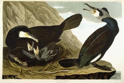 https://imgc.artprintimages.com/img/print/common-cormorant-1835_u-l-pprm4w0.jpg?p=0