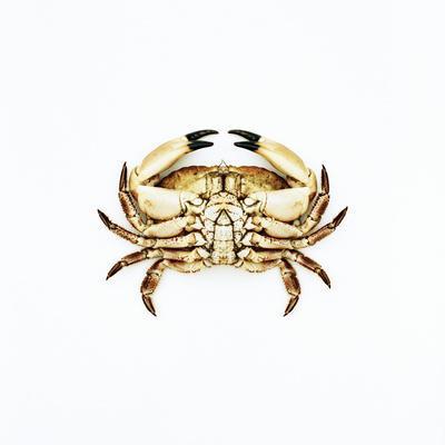 https://imgc.artprintimages.com/img/print/common-crab_u-l-pkh3nc0.jpg?p=0