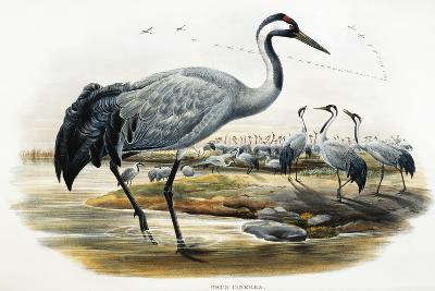 Common Crane (Grus Cinerea)-John Gould-Giclee Print