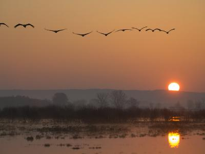 Common Cranes Flying in Formation at Sunrise, Hornborgasjon Lake, Sweden-Inaki Relanzon-Photographic Print